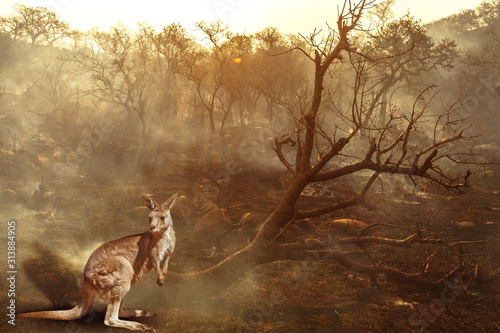 Obraz Composition about Australian wildlife in bushfires of Australia in 2020. Kangaroo with fire on background. January 2020 fire affecting Australia is considered the most devastating and deadly ever seen - fototapety do salonu