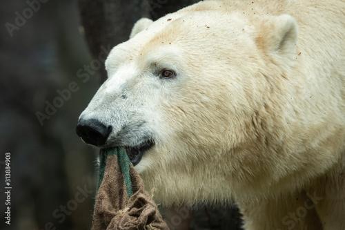 Portrait of a polar bear in a zoo Wallpaper Mural