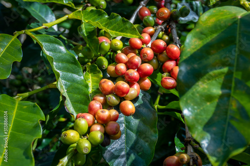 Photo Costa Rica. Coffea fruits (Coffea arabica) on tree branches.