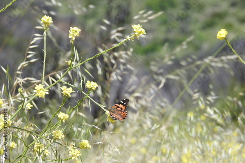 West coast lady butterfly gathering nectar from yellow mustard flowers in the Sespe wilderness, in the Los Padres National Forest, California Wallpaper Mural