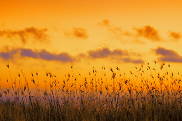 Fototapeta Natura Seashore with tall dry grass at sunset. Golden sunset over sea. Grass against dramatic evening sky. Nature background