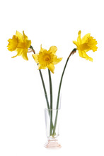 Bouquet Of Three Yellow Daffod...