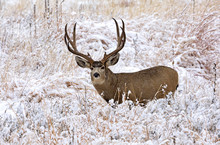 DEER ELK WHITETAIL MULE DEER
