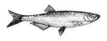 Common Bleak (Alburnus Alburnu...