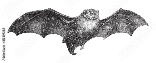 Cuadros en Lienzo  Common bent-wing bat or Schreibers's long-fingered bat (Miniopterus schreibersii