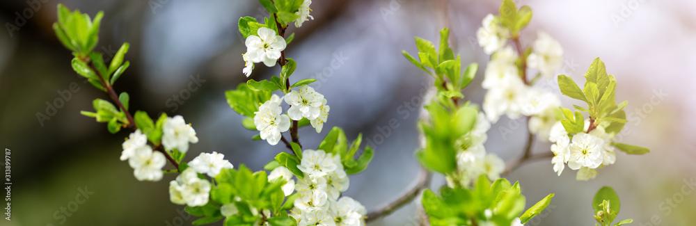 Fototapeta blurred plum tree background in bloom in spring
