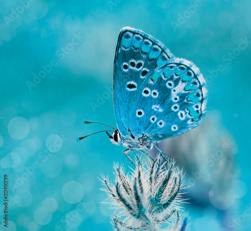 mariposa azul al amenecer en el campo Canvas Print