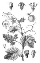 Grape Vine (Vitis Vinifera) / Vintage Illustration From Brockhaus Konversations-Lexikon 1908