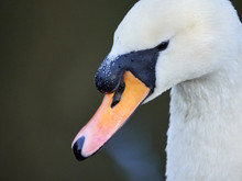 Close Up Details Of The Head And Beak Of A Mute Swan (Cygnus Olor) On Crime Lake At Daisy Nook, Oldham