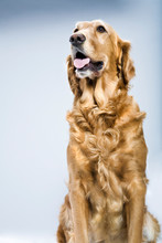 Dog In A Photo Studio Posing As A Model. Human Acting.