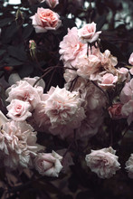 Close Angle View Of Roses In A...