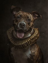 Portrait Of Dangerous Breed Dog In Baroque Style With Yellow Gorget On