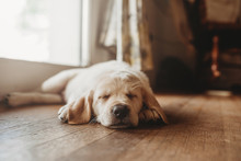 Sleeping Yellow Labrador Lab P...