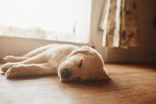 Sleeping Yellow Labrador Lab P...