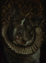 French Bulldog Baroque Style With Yellow Gorget
