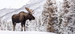 Moose in Snow in Jasper Canada