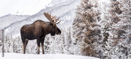 Moose in Snow in Jasper Canada Wallpaper Mural