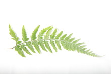 Picture Of Common Lady-fern / ...