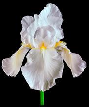 Iris White Isolated On Black