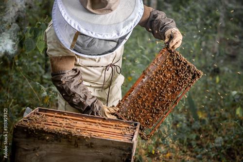 Obraz Apicultor sosteniendo marco con abejas  - fototapety do salonu