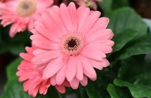 Pink Chrysanthemum Flowers. Se...