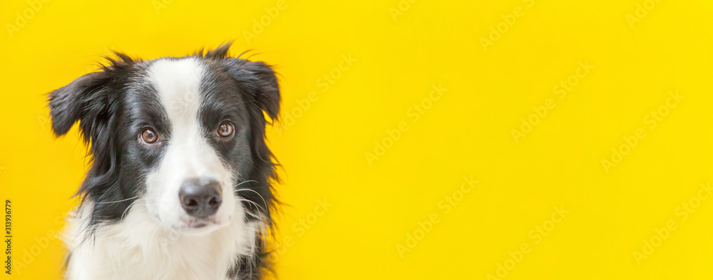 Fototapeta Funny studio portrait of cute smilling puppy dog border collie isolated on yellow background. New lovely member of family little dog gazing and waiting for reward. Pet care and animals concept Banner