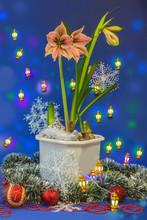 Blooming  Amaryllis Hippeastru...