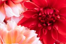 Red Flower Of Dahlia On Black ...