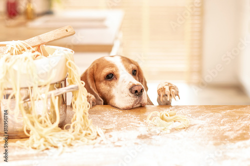 Photo Cute beagle with food in the kitchen.