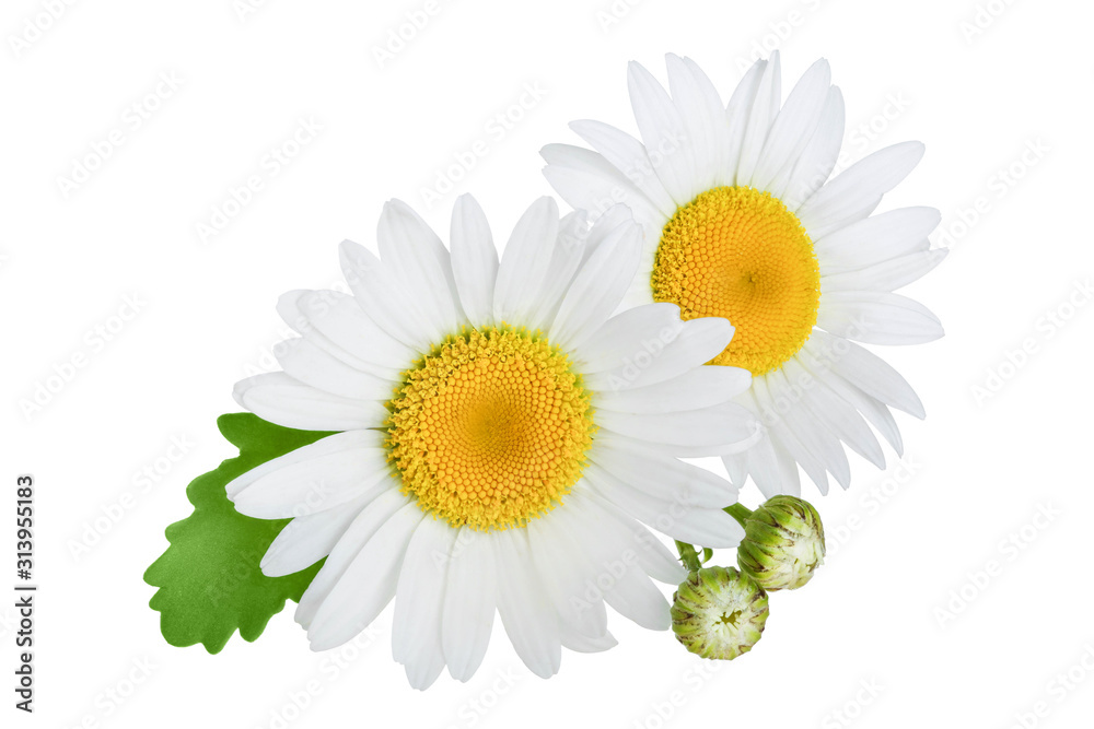 Fototapeta one chamomile or daisies with leaves isolated on white background