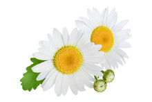 One Chamomile Or Daisies With ...