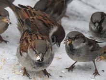 Sparrows Feeding On Oats In Winter