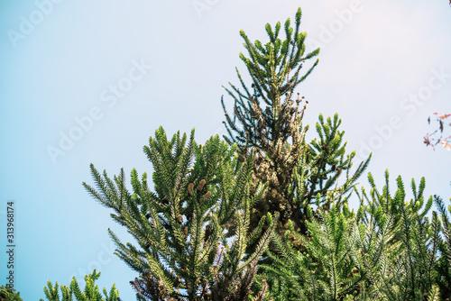 Photo Treetop araucaria angustifolia in summer