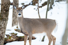 Whitetail Doe Standing Board S...