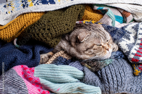 Cute cat Scottish Fold hid from the cold in a pile of woolen scarves and calmly dozing Obraz na płótnie