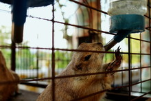 A Brown Squirrel In Cage Is Dr...