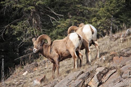 Photo Big Horn Sheep in the Kananaskis