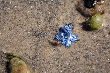 Blue Glaucus / Blue Dragon Sea...