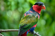 The Black Capped Lory Is Resting