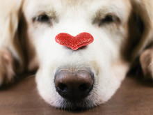 Close Up Image Of Red Glitter Heart On Sleeping Golden Retriever Dog's Nose , Valentine's Day Concept.