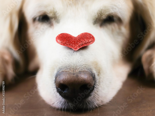 Leinwand Poster  Close up image of red glitter heart on sleeping golden retriever dog's nose , Valentine's day concept