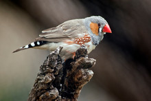 The Zebra Finch Is Resting On ...