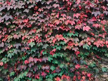 Wall Covered In Ivy With Leave...