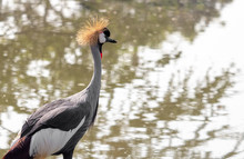 Close Up Grey Crowned Crane Walking In The Swamp