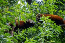 Pair Of Red Pandas Interacting