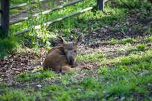 European Moose Baby