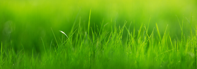 Fresh green grass background with sunlight in summer