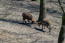 Thorold's Deer (Cervus Albirostris) Males Fighting