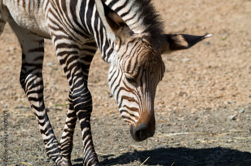 Fototapeta Young zebra looking on the ground obraz