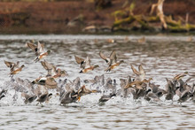 A Flock Of Mixed Waterfowl Takes Off In A Spray Of Water